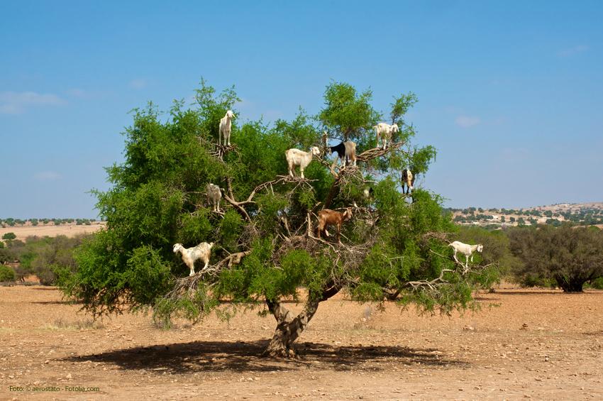Arganbaum, Marokko: Ziegen fressen Arganfrüchte